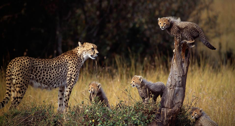 CheetahFamily_ROW545569307